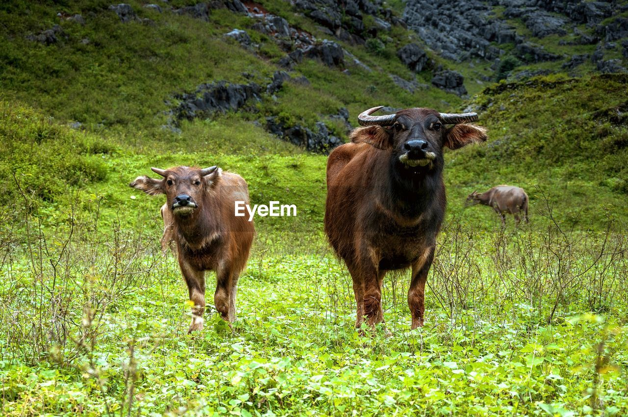 mammal, animal themes, animal, plant, grass, group of animals, domestic animals, land, pets, domestic, vertebrate, field, cattle, two animals, standing, livestock, green color, nature, no people, cow, herbivorous, outdoors