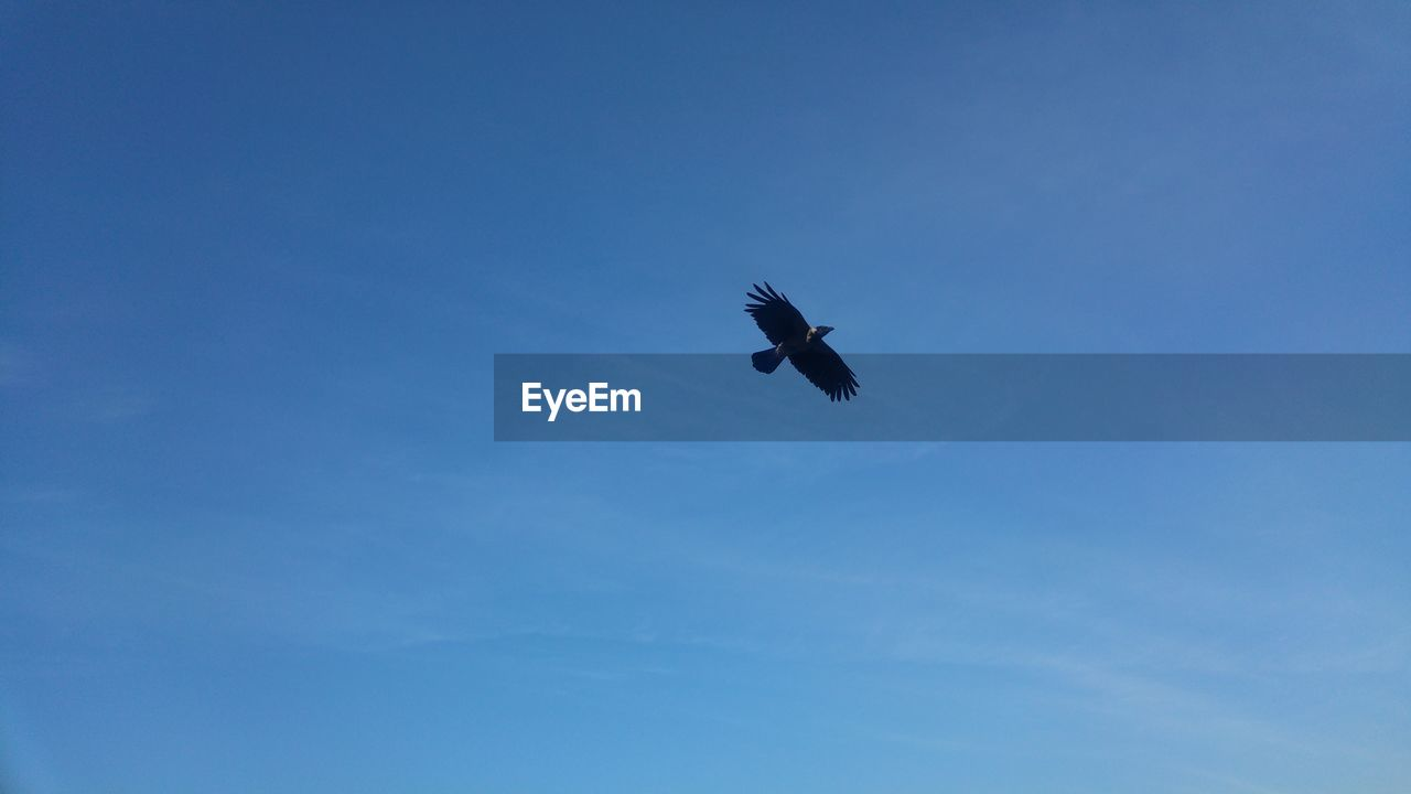 flying, sky, low angle view, animals in the wild, vertebrate, animal wildlife, animal themes, blue, one animal, bird, animal, mid-air, spread wings, no people, nature, day, cloud - sky, outdoors, copy space, motion