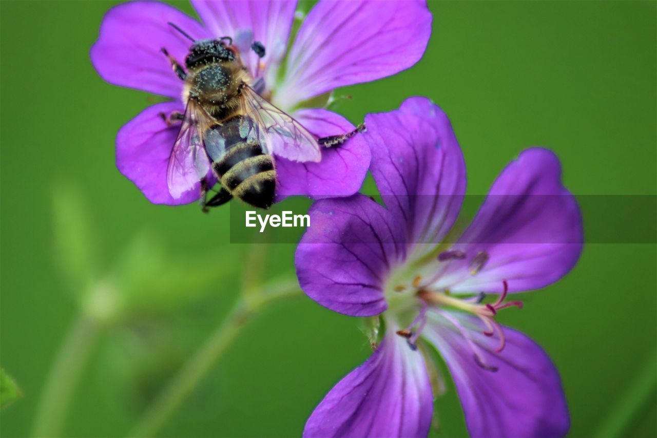 flowering plant, flower, fragility, vulnerability, petal, beauty in nature, plant, insect, invertebrate, animals in the wild, growth, close-up, animal wildlife, animal themes, animal, freshness, flower head, one animal, inflorescence, bee, purple, no people, pollination, pollen