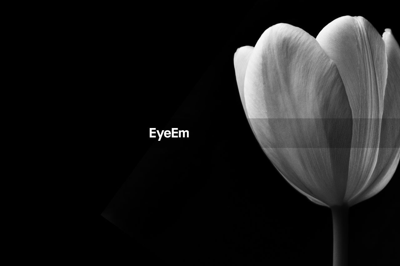 flower, flowering plant, petal, fragility, vulnerability, beauty in nature, freshness, inflorescence, close-up, black background, flower head, plant, studio shot, copy space, nature, growth, indoors, no people, white color