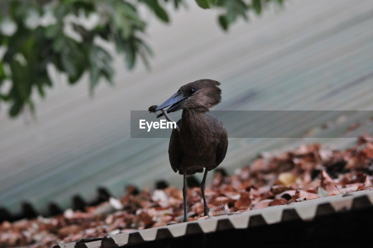 bird, animal themes, animal, animals in the wild, vertebrate, animal wildlife, one animal, perching, no people, focus on foreground, day, roof, close-up, nature, selective focus, metal, outdoors, railing, plant, full length