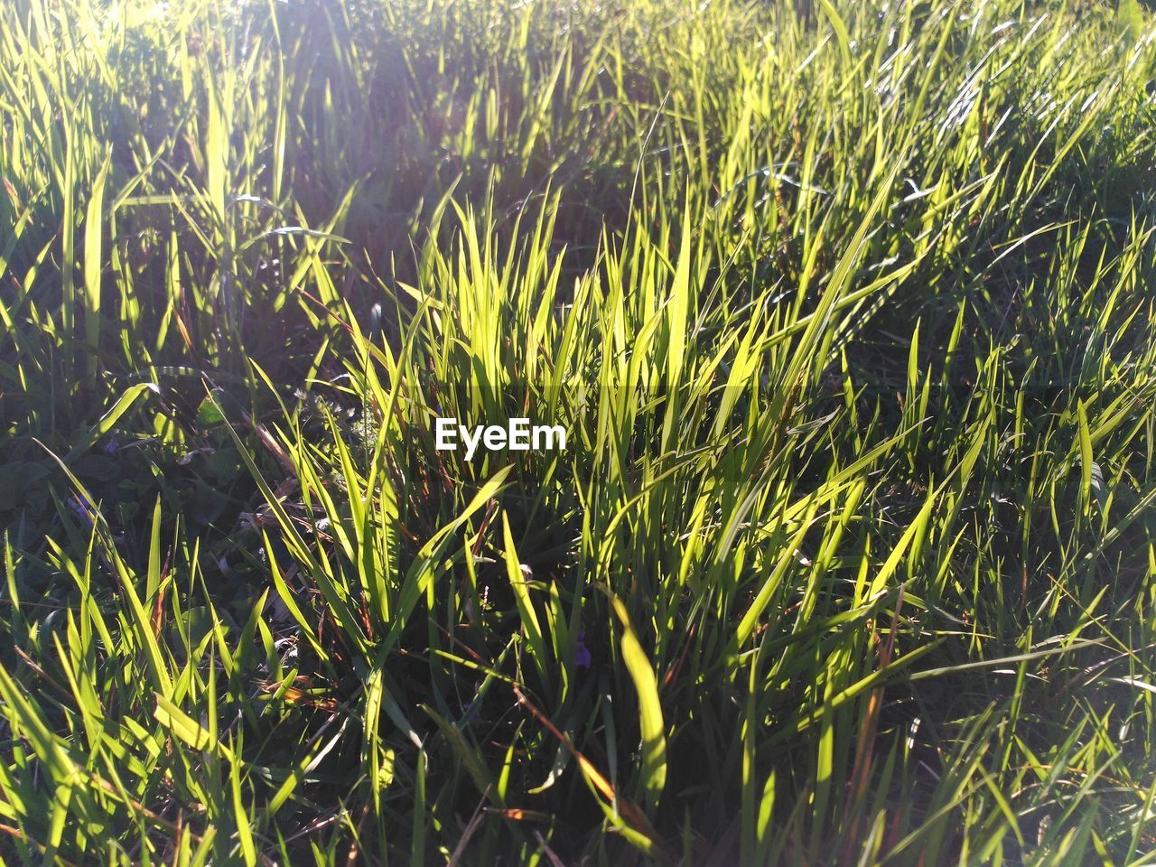 growth, plant, green color, beauty in nature, grass, nature, no people, field, tranquility, day, land, sunlight, close-up, outdoors, full frame, water, backgrounds, selective focus, freshness, focus on foreground, blade of grass