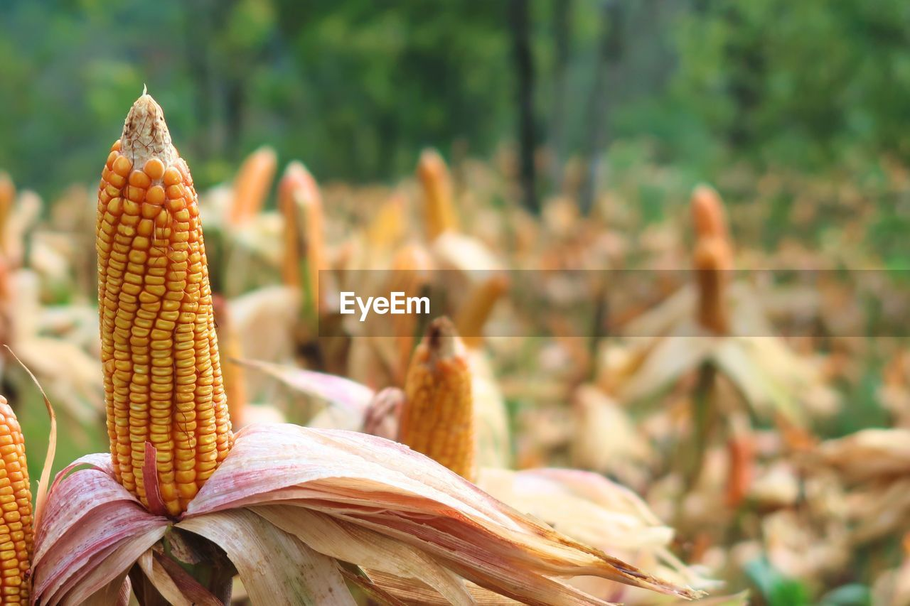 close-up, focus on foreground, plant, growth, no people, beauty in nature, nature, day, freshness, corn, outdoors, food, field, yellow, land, flower, food and drink, flowering plant, plant part, leaf, sweetcorn