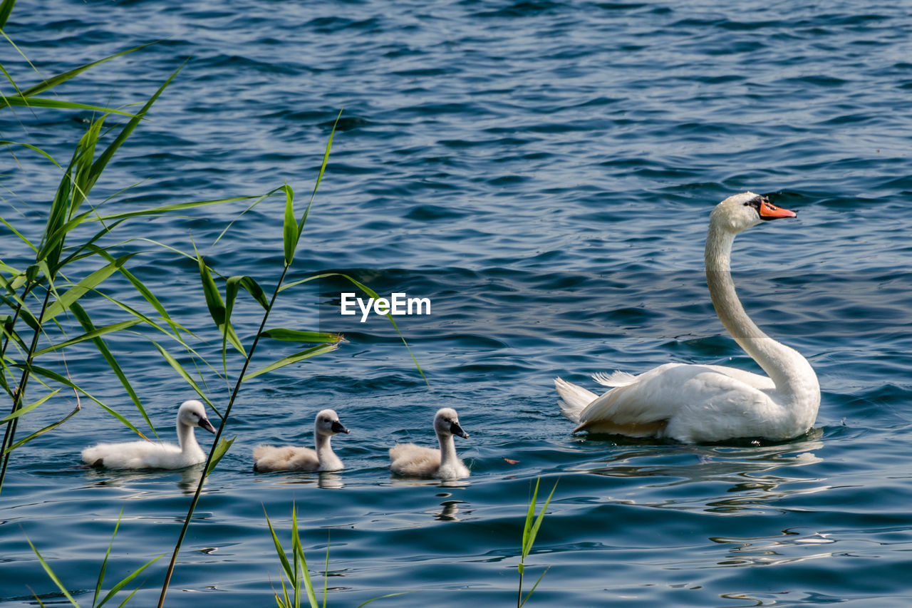 Swan Swimming With Cygnets On Lake
