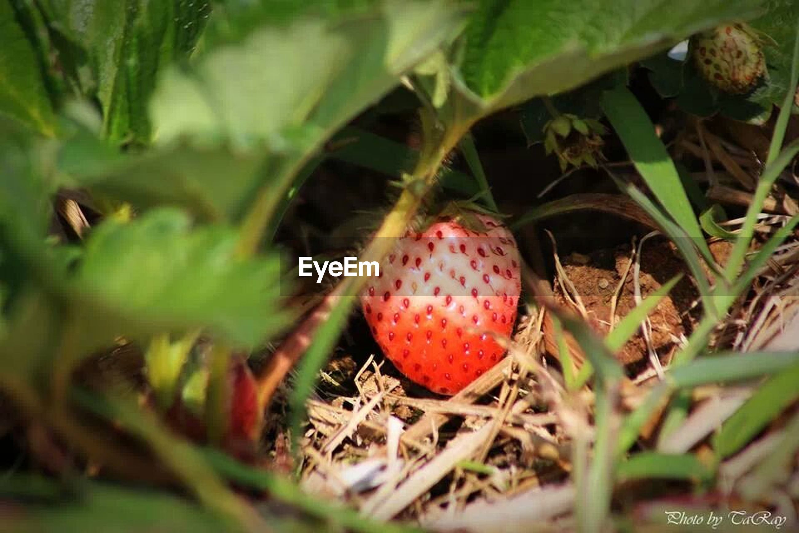 red, fruit, food and drink, close-up, growth, selective focus, plant, leaf, green color, field, food, nature, grass, spotted, ripe, focus on foreground, no people, berry fruit, outdoors, day