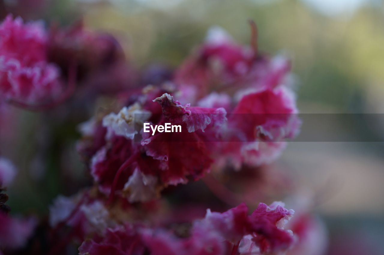 flower, nature, fragility, no people, selective focus, day, close-up, outdoors, growth, petal, plant, pink color, beauty in nature, flower head, freshness