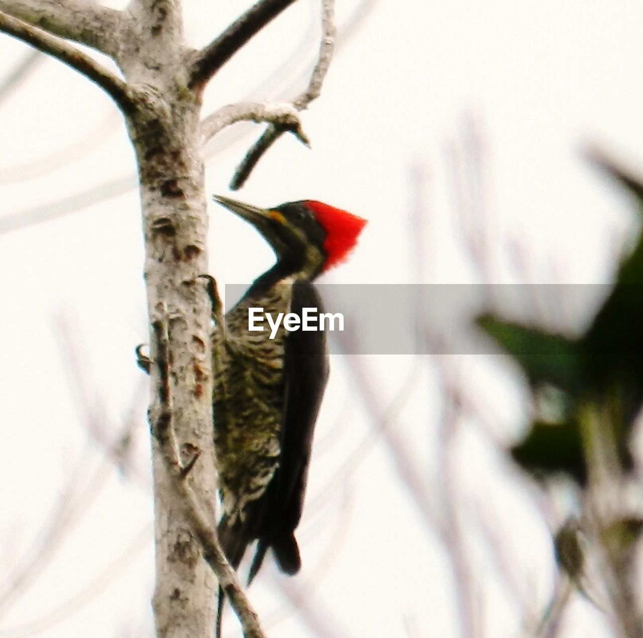 bird, animals in the wild, one animal, animal themes, tree, nature, animal wildlife, perching, branch, focus on foreground, beauty in nature, no people, day, outdoors, woodpecker, snow, close-up