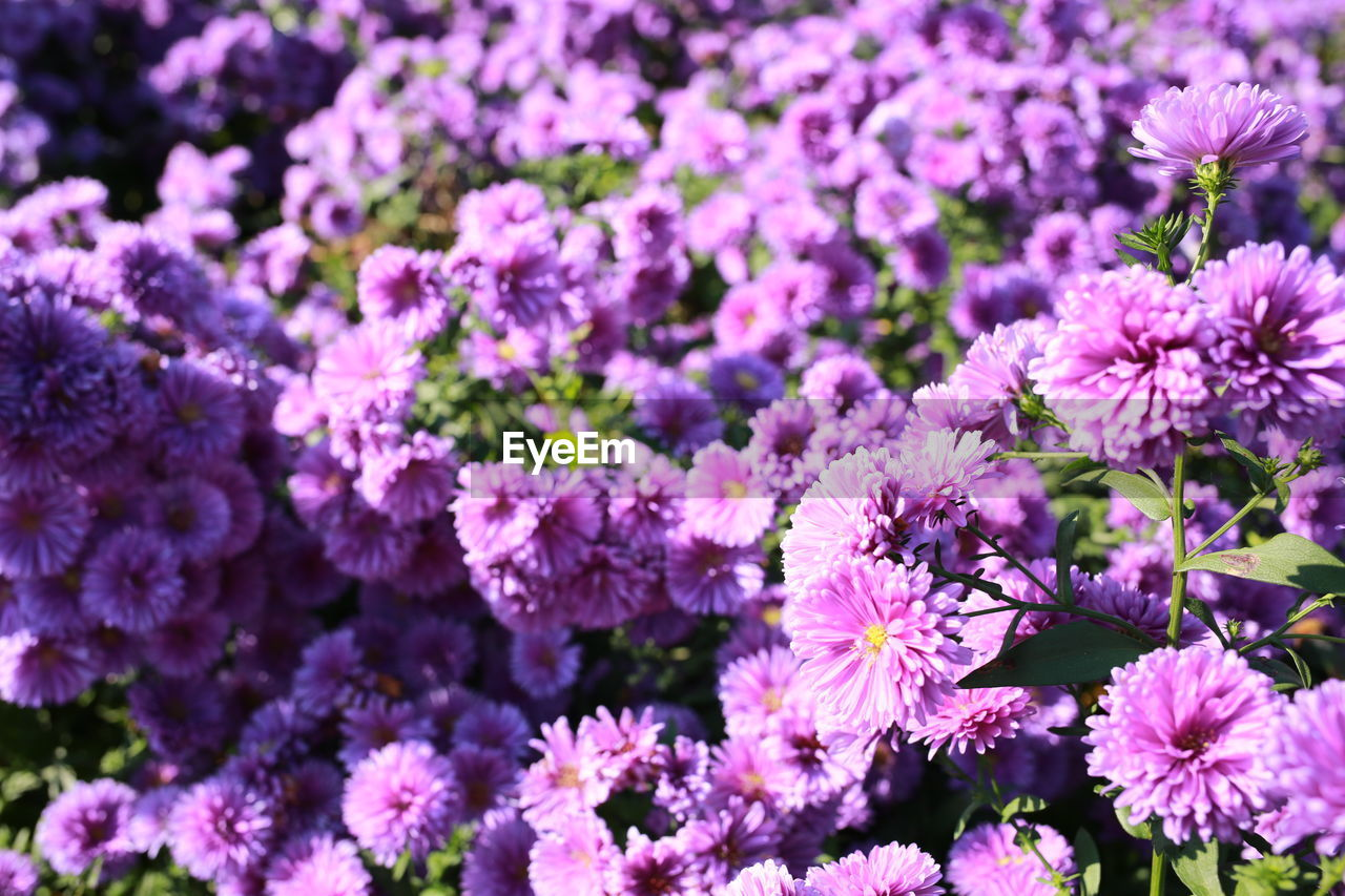 flower, flowering plant, freshness, plant, fragility, vulnerability, beauty in nature, growth, petal, close-up, flower head, inflorescence, pink color, no people, nature, day, springtime, outdoors, field, full frame, purple, bunch of flowers, lilac, flowerbed