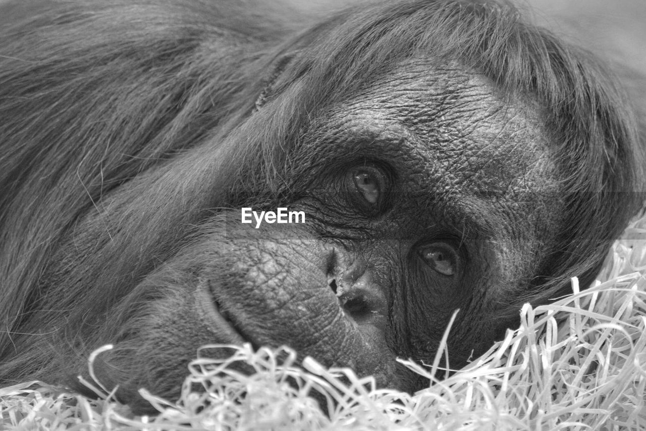 mammal, animal themes, primate, animal, monkey, animal wildlife, animals in the wild, ape, vertebrate, young animal, no people, close-up, group of animals, looking, relaxation, animal family, animal head, portrait, two animals
