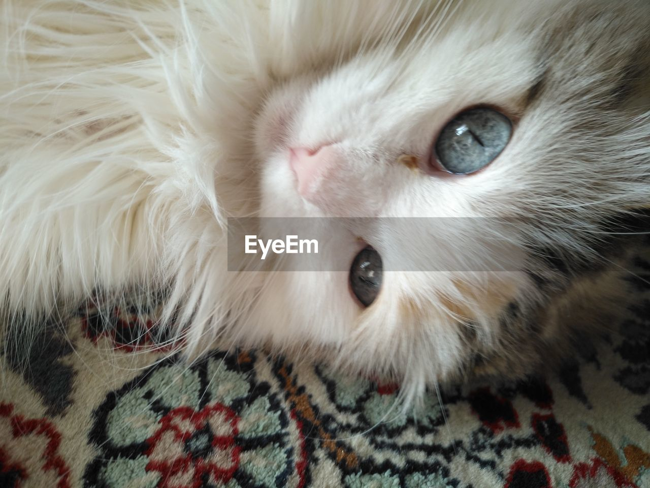 domestic, pets, domestic animals, mammal, animal, animal themes, one animal, cat, domestic cat, feline, indoors, close-up, looking at camera, vertebrate, portrait, furniture, whisker, animal body part, white color, bed, no people, animal head, animal eye, persian cat