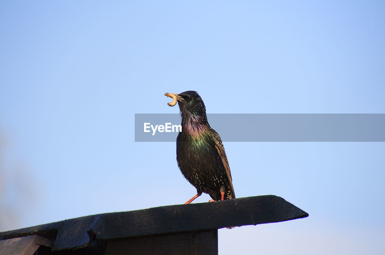 bird, animal themes, animal, vertebrate, animal wildlife, animals in the wild, perching, one animal, sky, clear sky, low angle view, day, no people, nature, copy space, wood - material, blue, outdoors, starling, looking away, mouth open