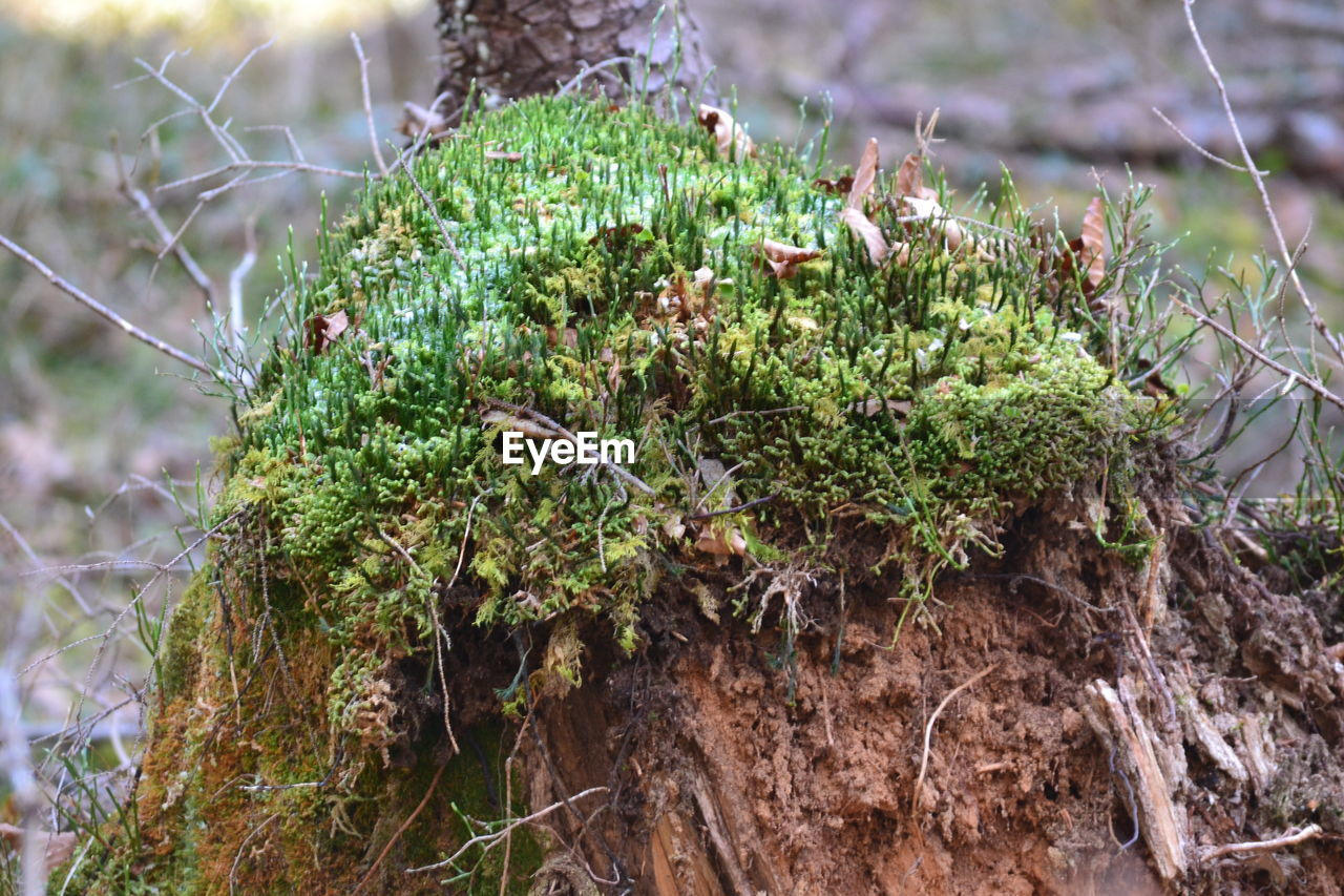 plant, growth, green color, nature, day, close-up, no people, focus on foreground, tree, beauty in nature, moss, outdoors, land, tree trunk, trunk, selective focus, tranquility, plant part, spider web, forest, bark, lichen