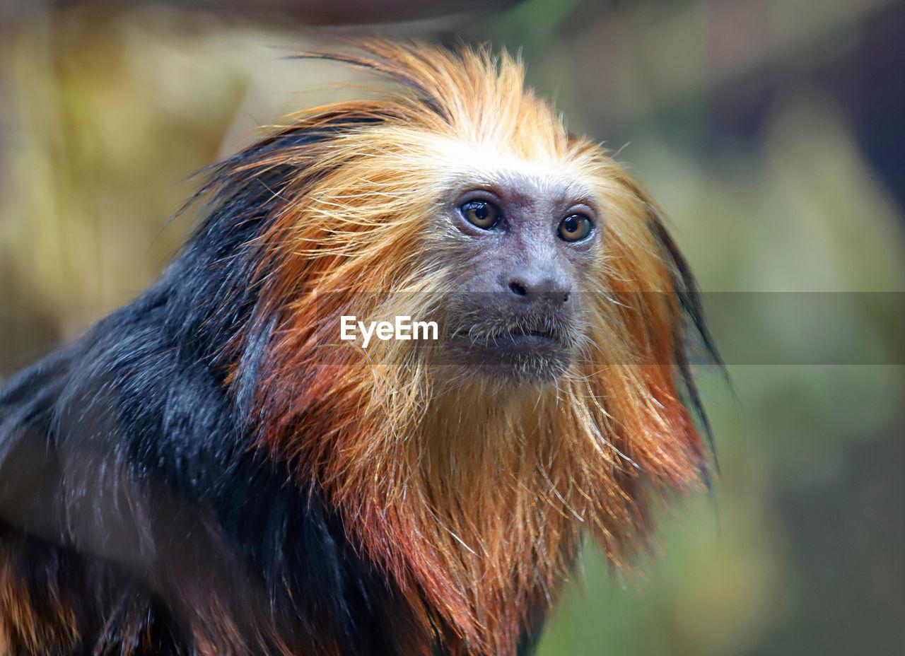 animal themes, animal, one animal, vertebrate, focus on foreground, mammal, close-up, hair, monkey, primate, animal wildlife, animals in the wild, animal hair, brown, looking, no people, day, looking away, animal body part, animal head