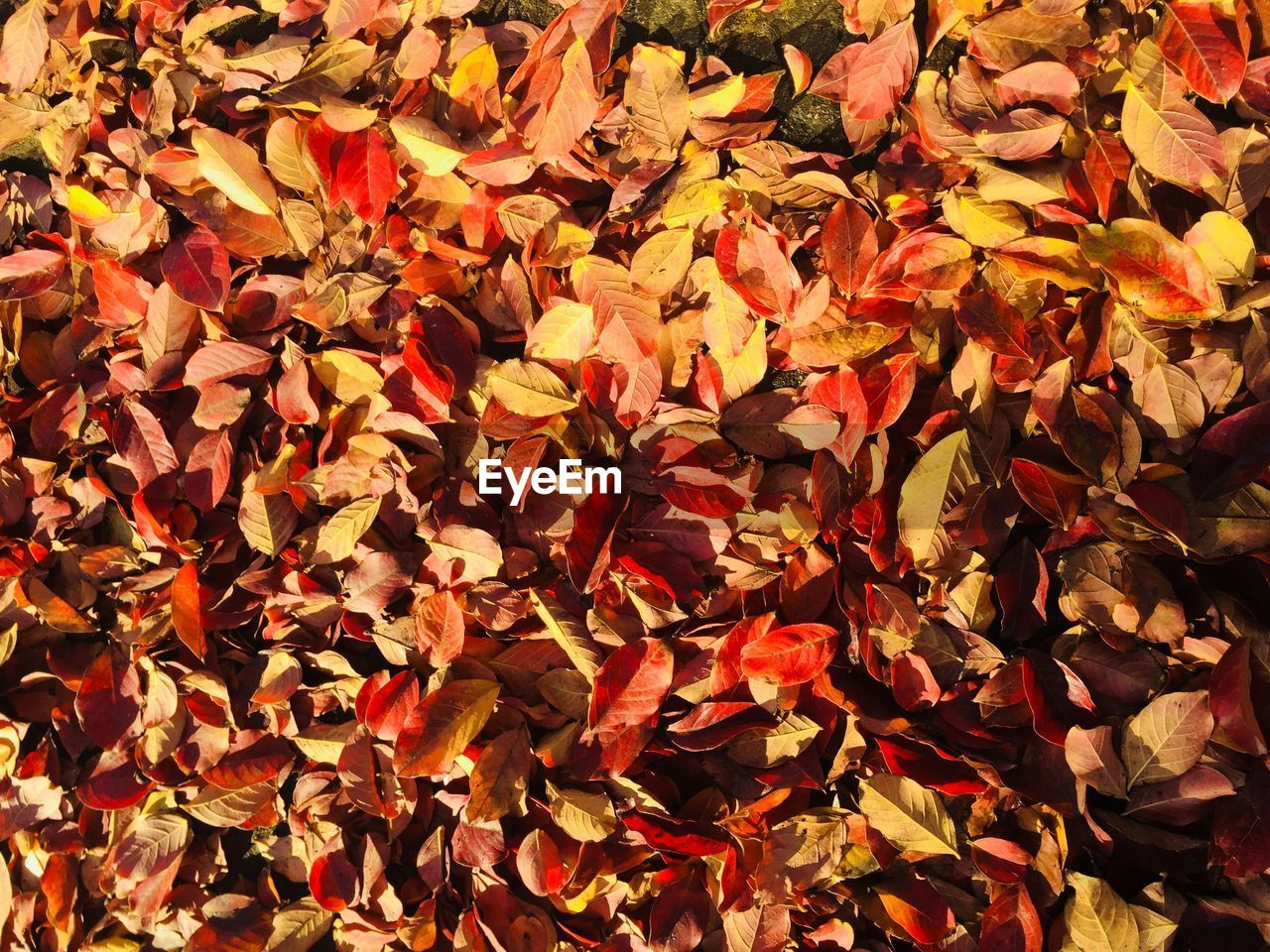 autumn, leaf, change, leaves, maple leaf, backgrounds, nature, full frame, dry, beauty in nature, maple, abundance, outdoors, no people, day, maple tree, red, fragility, close-up
