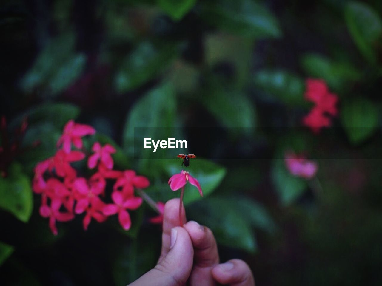 human hand, real people, holding, one person, human finger, insect, human body part, flower, animals in the wild, close-up, fragility, outdoors, focus on foreground, petal, one animal, nature, day, animal themes, beauty in nature, tiny, flower head, freshness, people