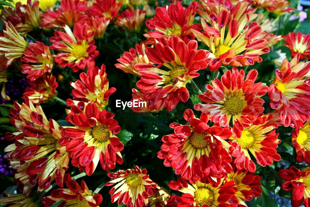 flower, red, fragility, beauty in nature, freshness, growth, petal, nature, flower head, no people, plant, outdoors, blooming, day, close-up