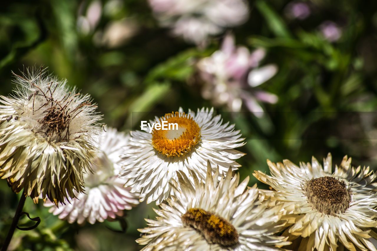 flower, flowering plant, plant, fragility, vulnerability, beauty in nature, freshness, flower head, close-up, growth, inflorescence, petal, focus on foreground, nature, no people, selective focus, day, outdoors, white color, pollen, spiky, wilted plant