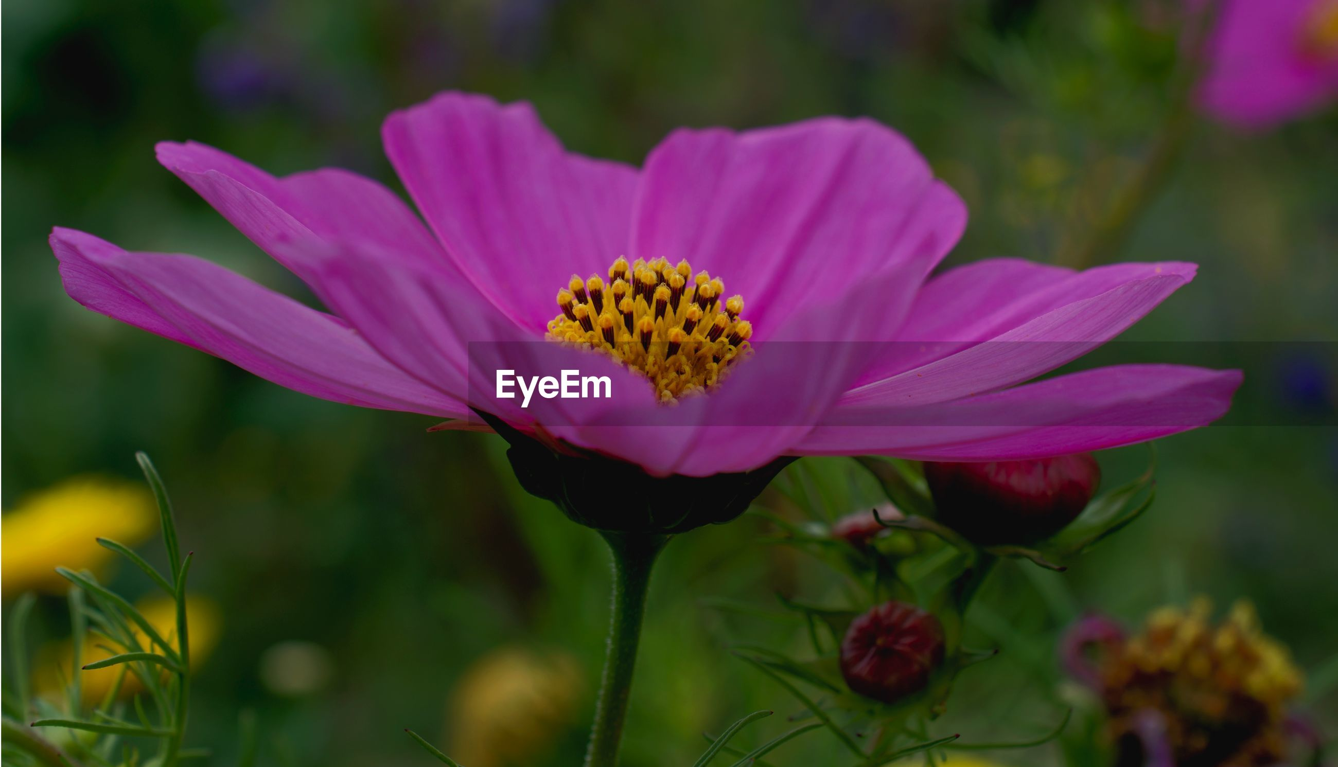 CLOSE-UP OF PINK COSMOS FLOWER AGAINST BLURRED BACKGROUND