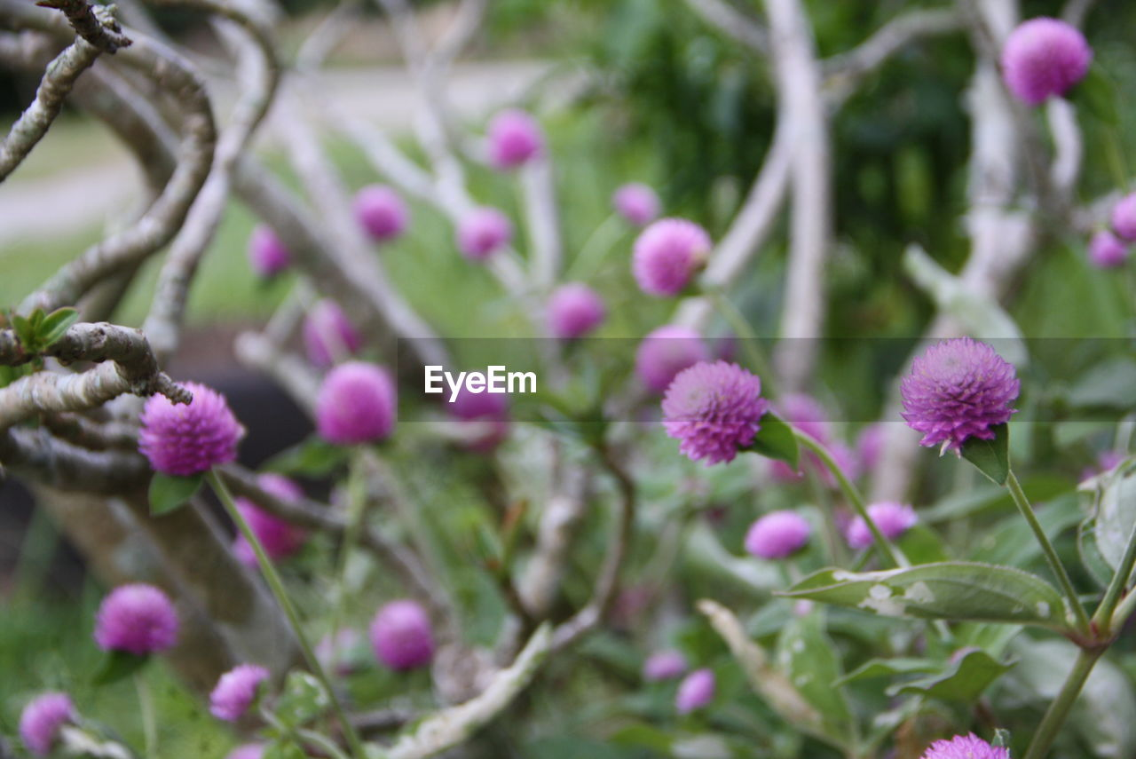 plant, flower, flowering plant, growth, beauty in nature, freshness, fragility, vulnerability, close-up, pink color, selective focus, nature, petal, day, no people, outdoors, flower head, inflorescence, focus on foreground, purple