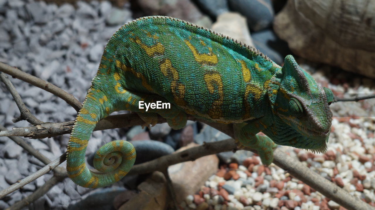 animal themes, animals in the wild, animal, animal wildlife, vertebrate, one animal, reptile, lizard, focus on foreground, no people, day, close-up, chameleon, green color, tree, nature, branch, outdoors, looking away, high angle view, animal scale