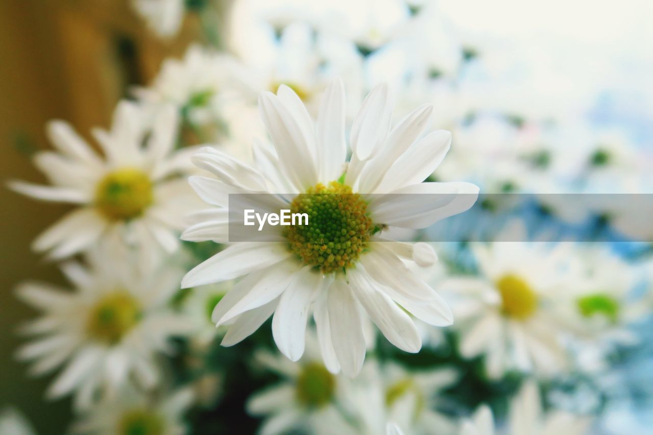 flower, flowering plant, fragility, vulnerability, plant, beauty in nature, growth, freshness, petal, close-up, flower head, white color, inflorescence, focus on foreground, pollen, nature, no people, selective focus, day, outdoors