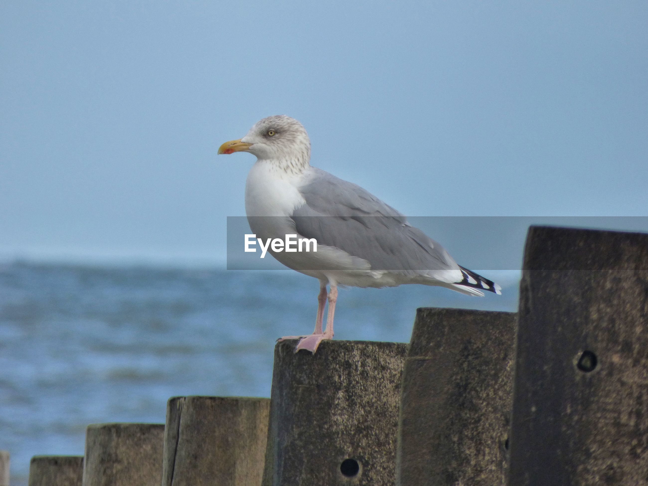 SEAGULL PERCHING ON SHORE AGAINST CLEAR SKY