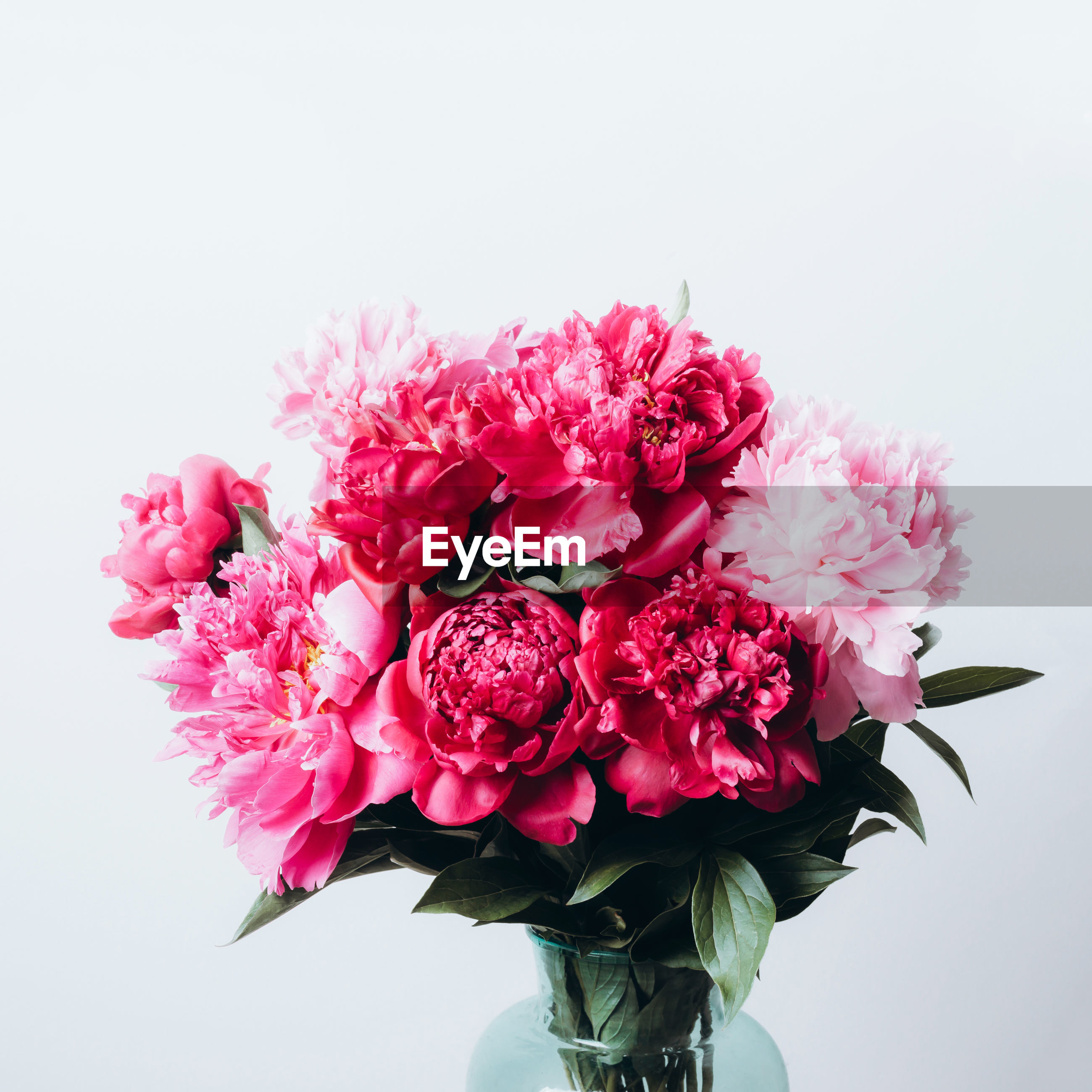 CLOSE-UP OF PINK ROSE FLOWER AGAINST WHITE BACKGROUND