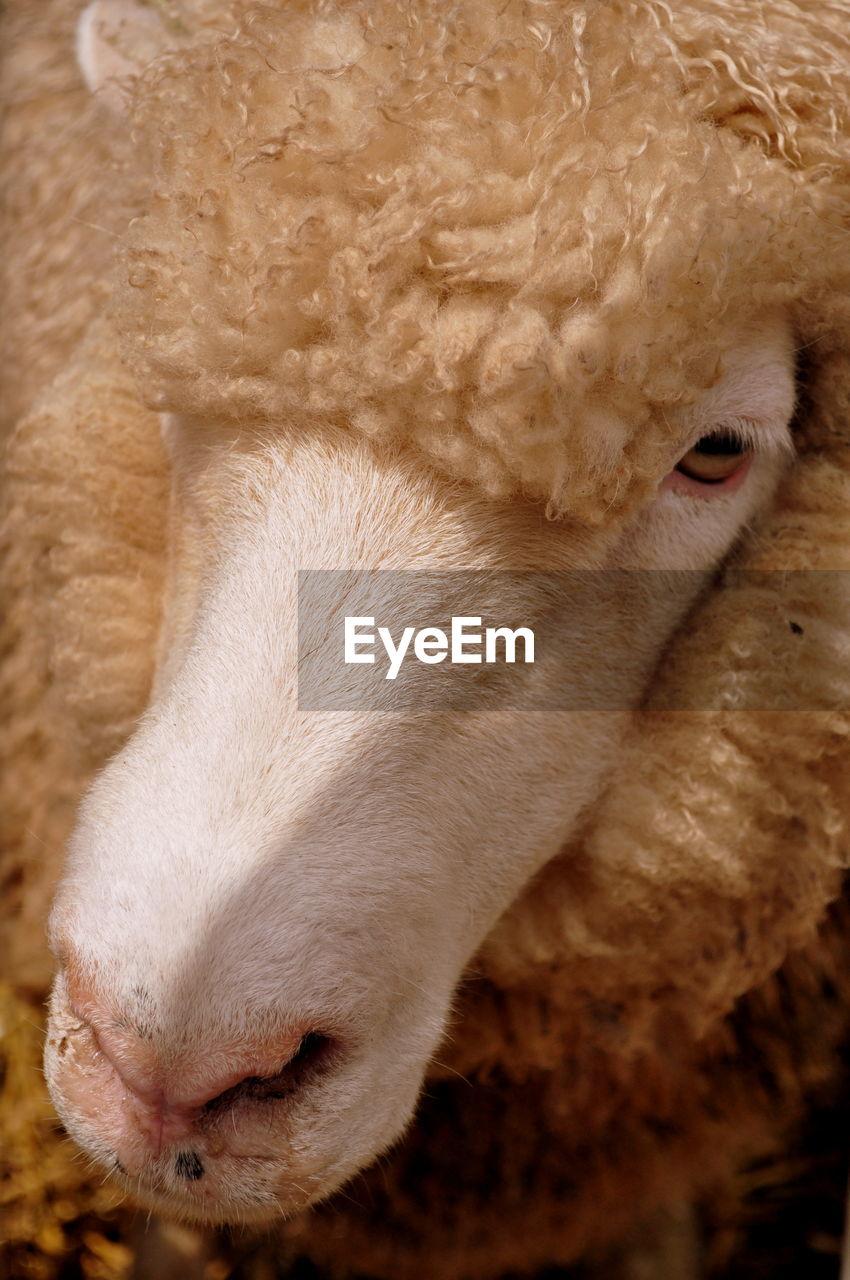 Close-Up Of Sheep Outdoors