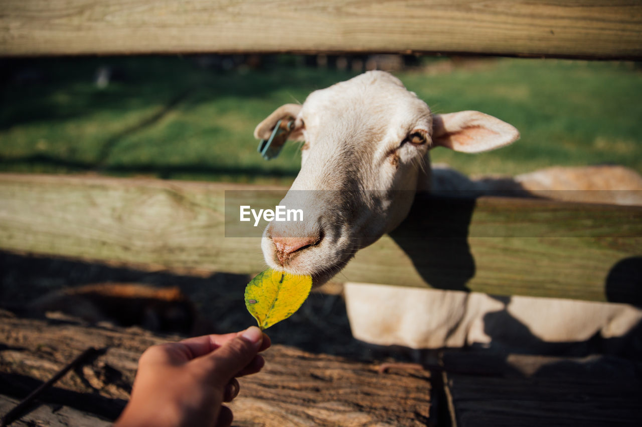 Close-Up Of Hand Feeding Leaf To Goat
