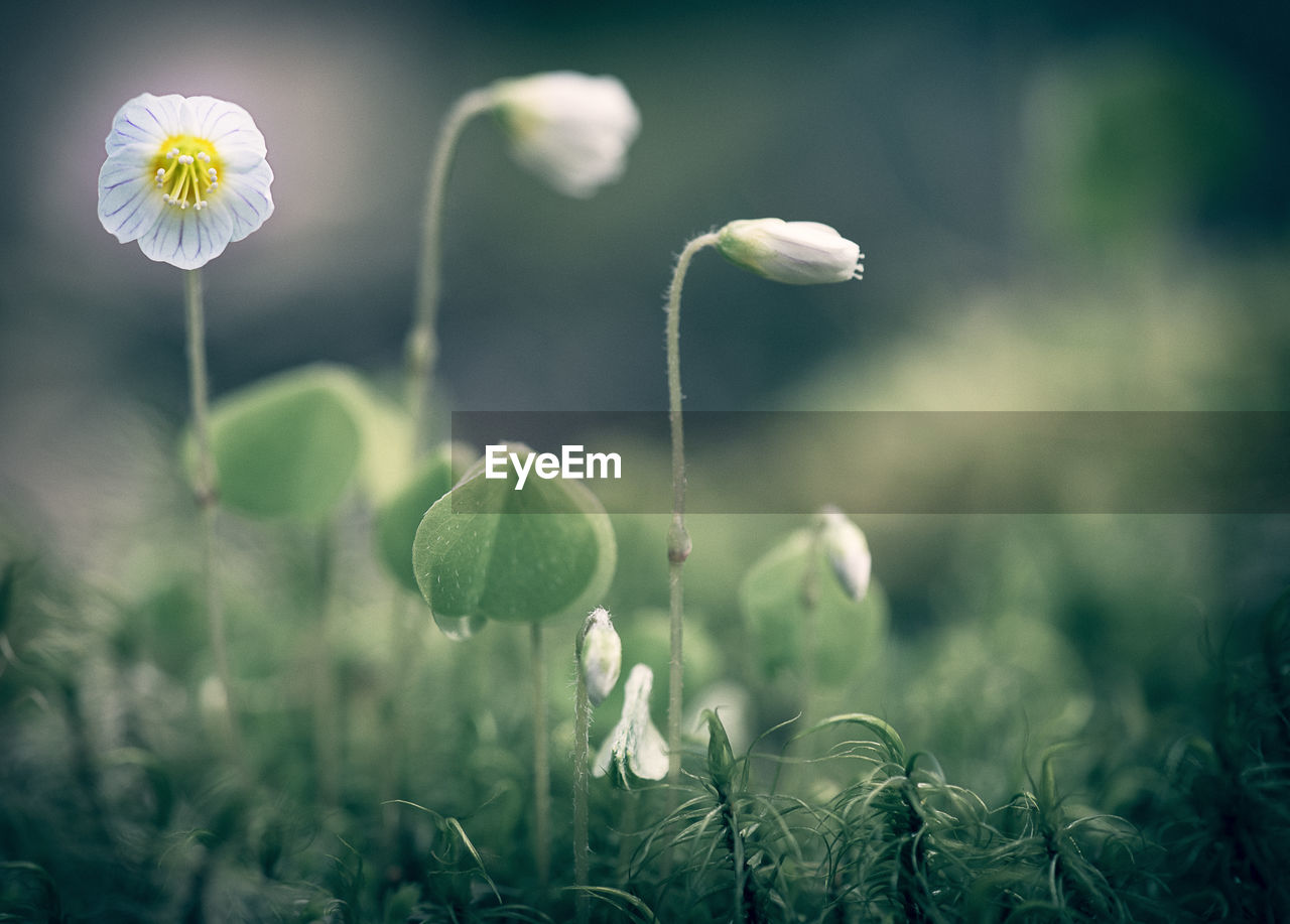 growth, flower, fragility, nature, freshness, beauty in nature, plant, outdoors, no people, day, flower head, focus on foreground, close-up, blooming
