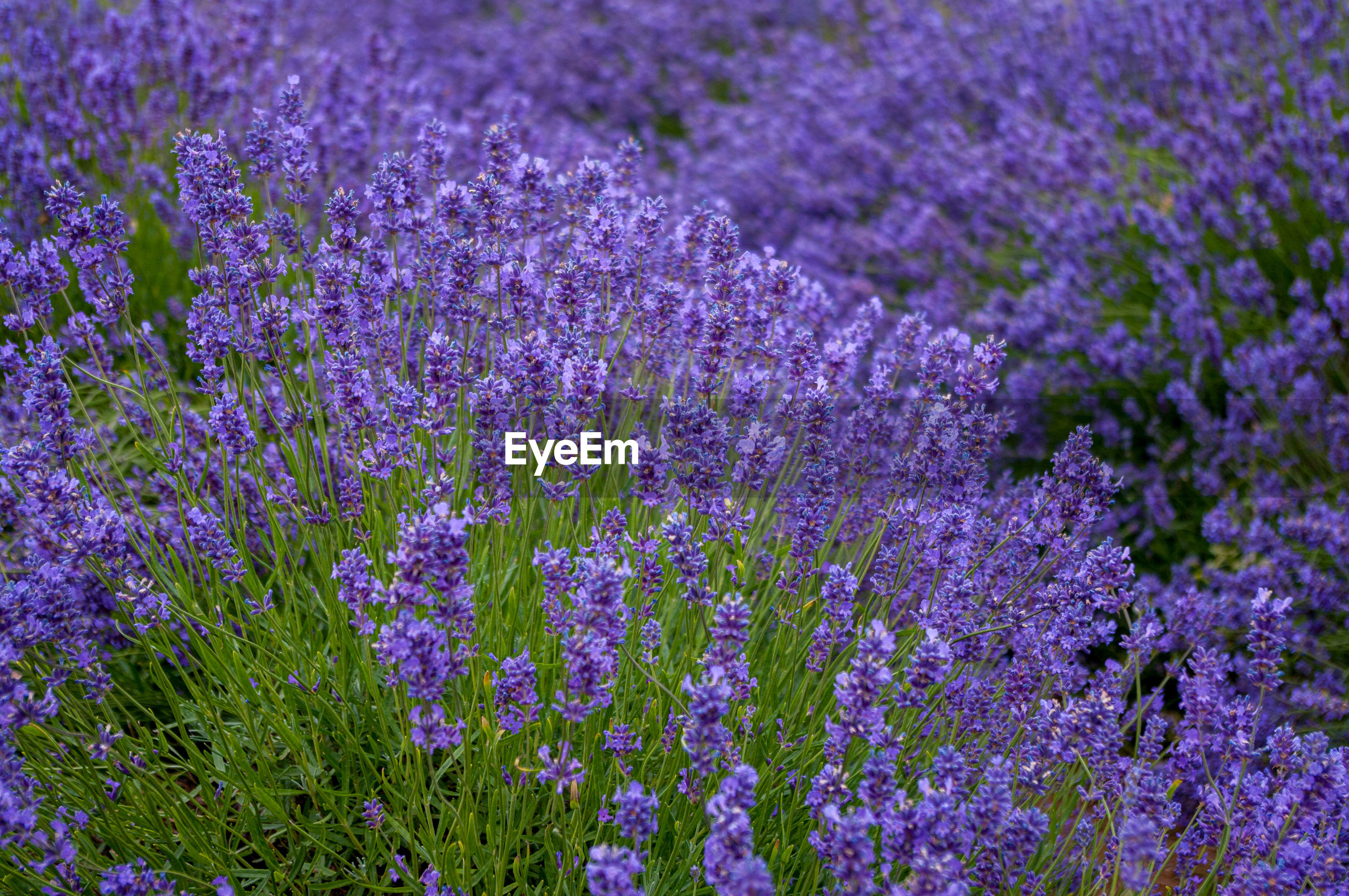 Lavender plants in flower in field ready for harvesting for lavender oil