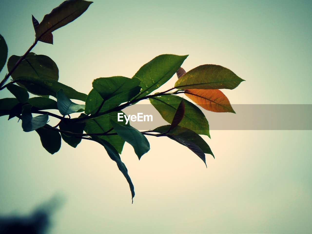 leaf, nature, growth, no people, beauty in nature, close-up, day, outdoors, low angle view, clear sky, branch, freshness, fragility, tree, sky, flower