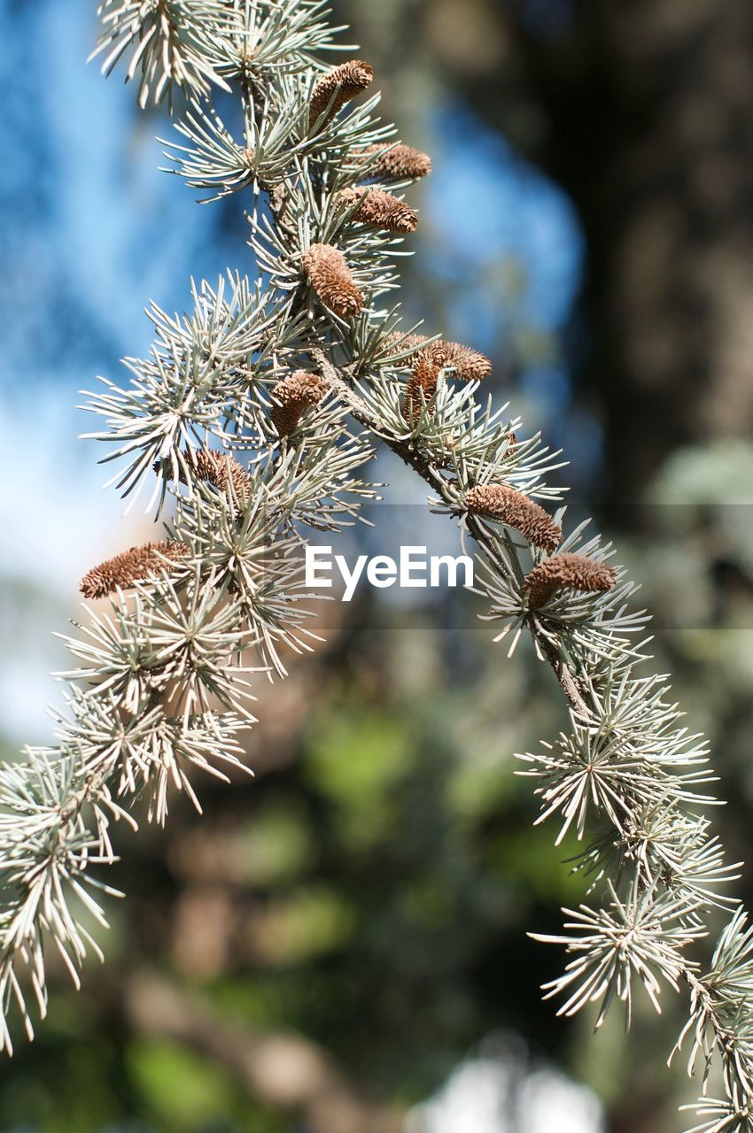 plant, growth, beauty in nature, day, focus on foreground, nature, no people, close-up, tranquility, selective focus, cold temperature, winter, outdoors, tree, sunlight, snow, green color, frozen, sunny, pine tree, coniferous tree