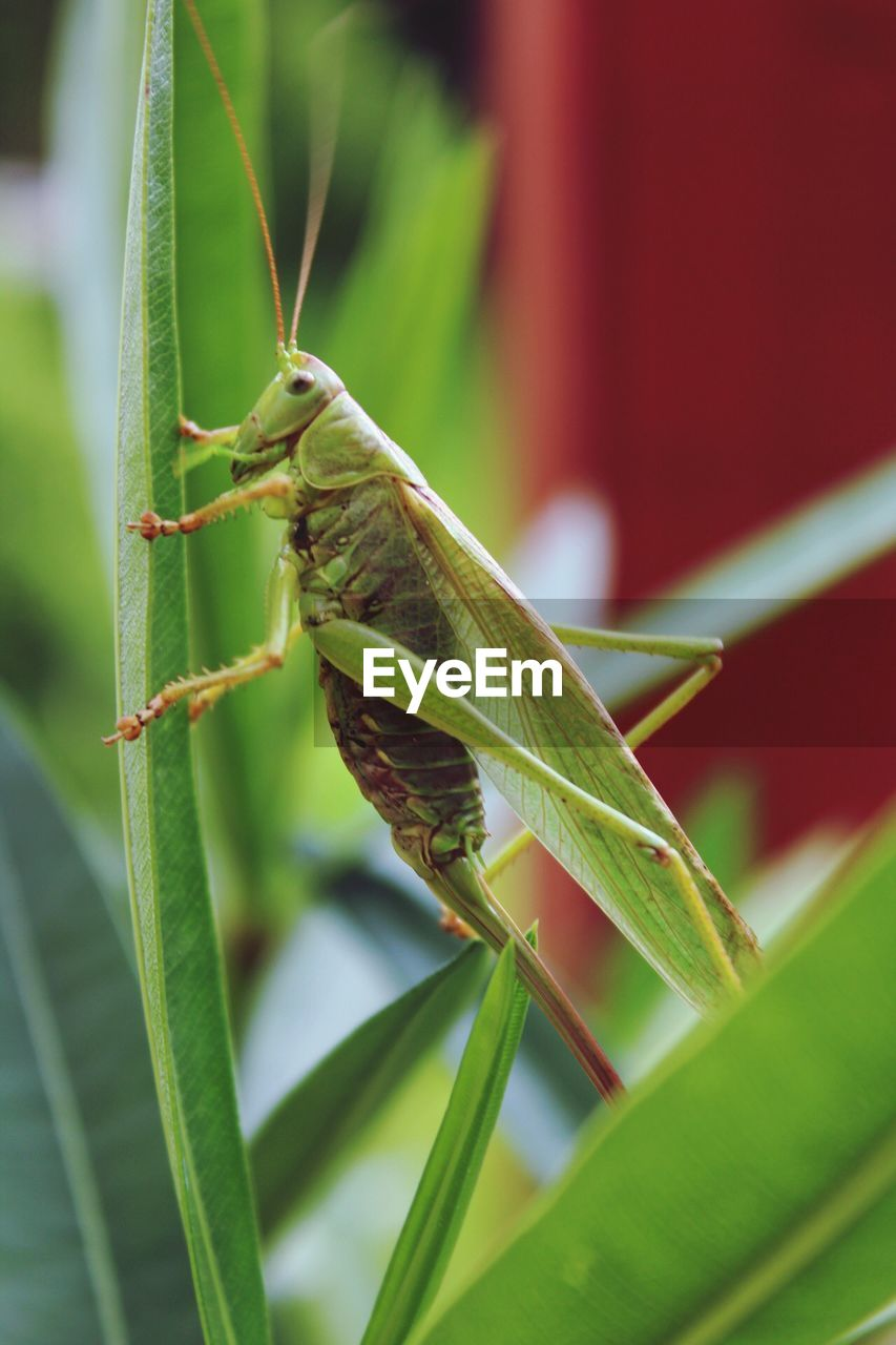 invertebrate, insect, animal themes, animal wildlife, animals in the wild, one animal, animal, green color, plant part, leaf, close-up, plant, grasshopper, focus on foreground, day, no people, nature, animal body part, growth, animal antenna, outdoors