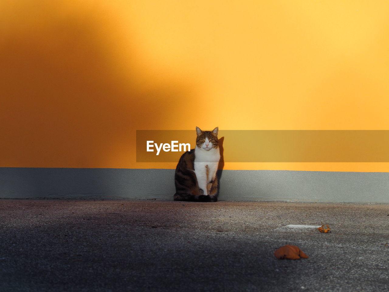 Cat against orange wall
