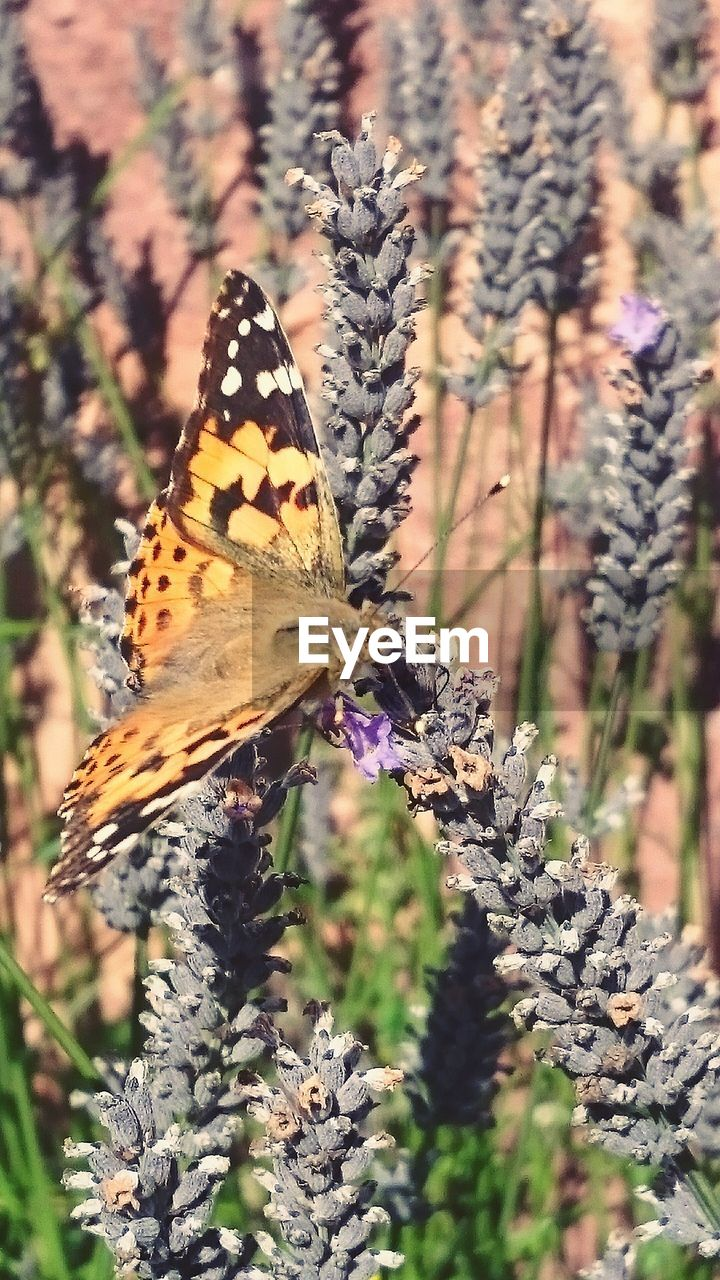 Butterfly on dry lavenders
