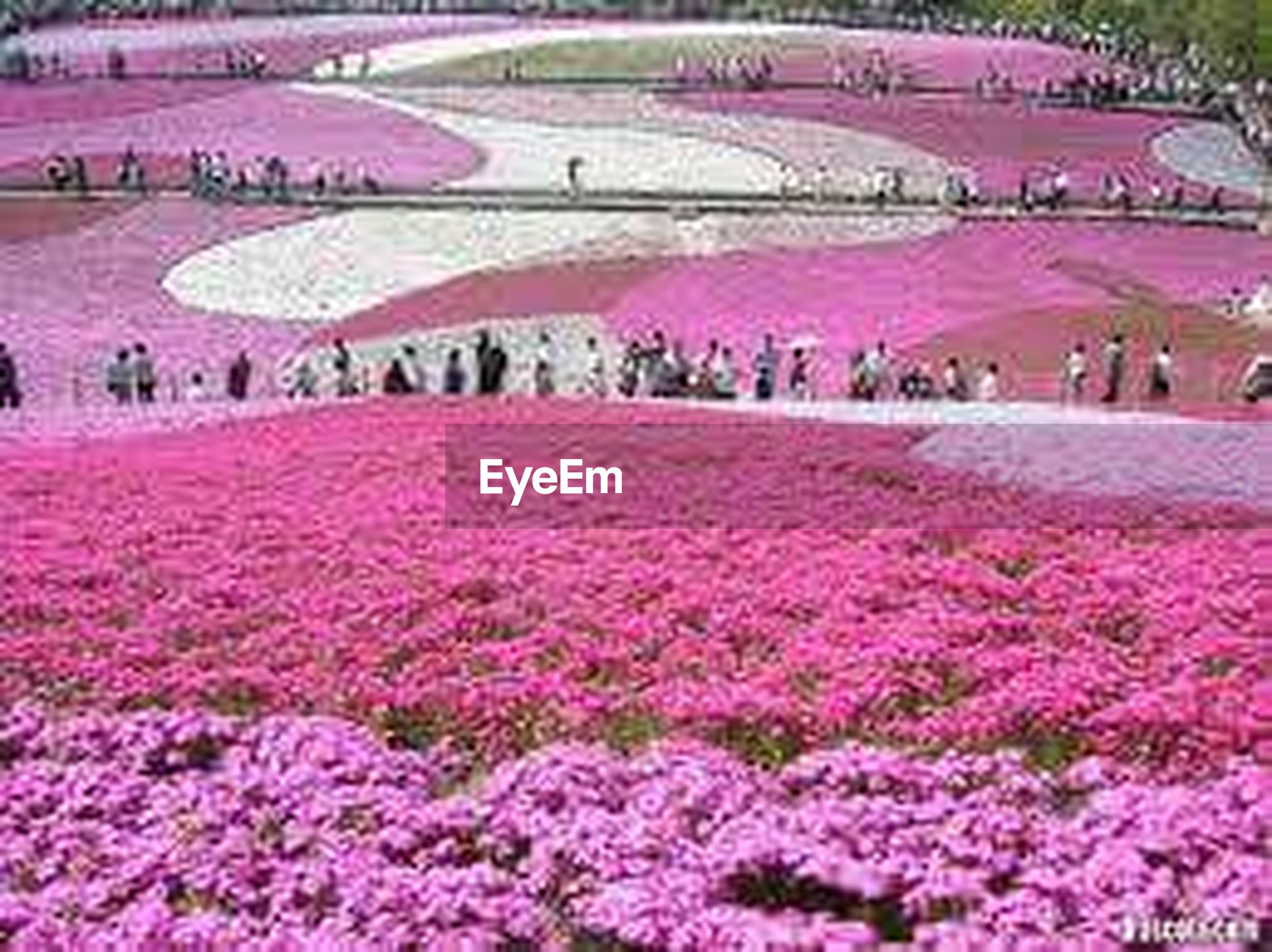 flower, large group of people, pink color, freshness, park - man made space, fragility, growth, beauty in nature, mixed age range, crowd, tree, nature, high angle view, landscape, field, person, blooming, outdoors, flowerbed