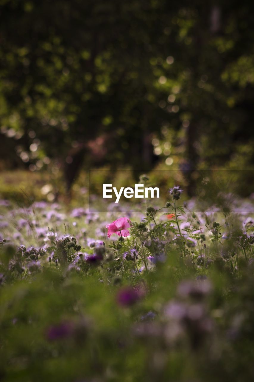 plant, flower, flowering plant, growth, beauty in nature, selective focus, fragility, freshness, vulnerability, nature, land, day, purple, field, no people, petal, close-up, outdoors, green color, flower head