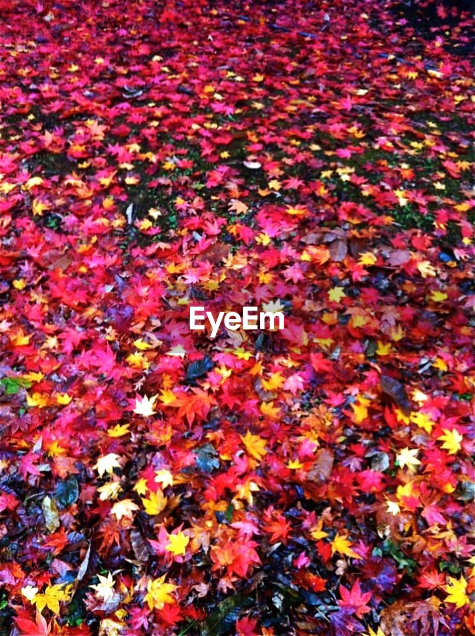 autumn, leaf, change, multi colored, backgrounds, beauty in nature, full frame, abundance, nature, vibrant color, flower, variation, no people, yellow, fragility, day, outdoors, close-up, maple, freshness