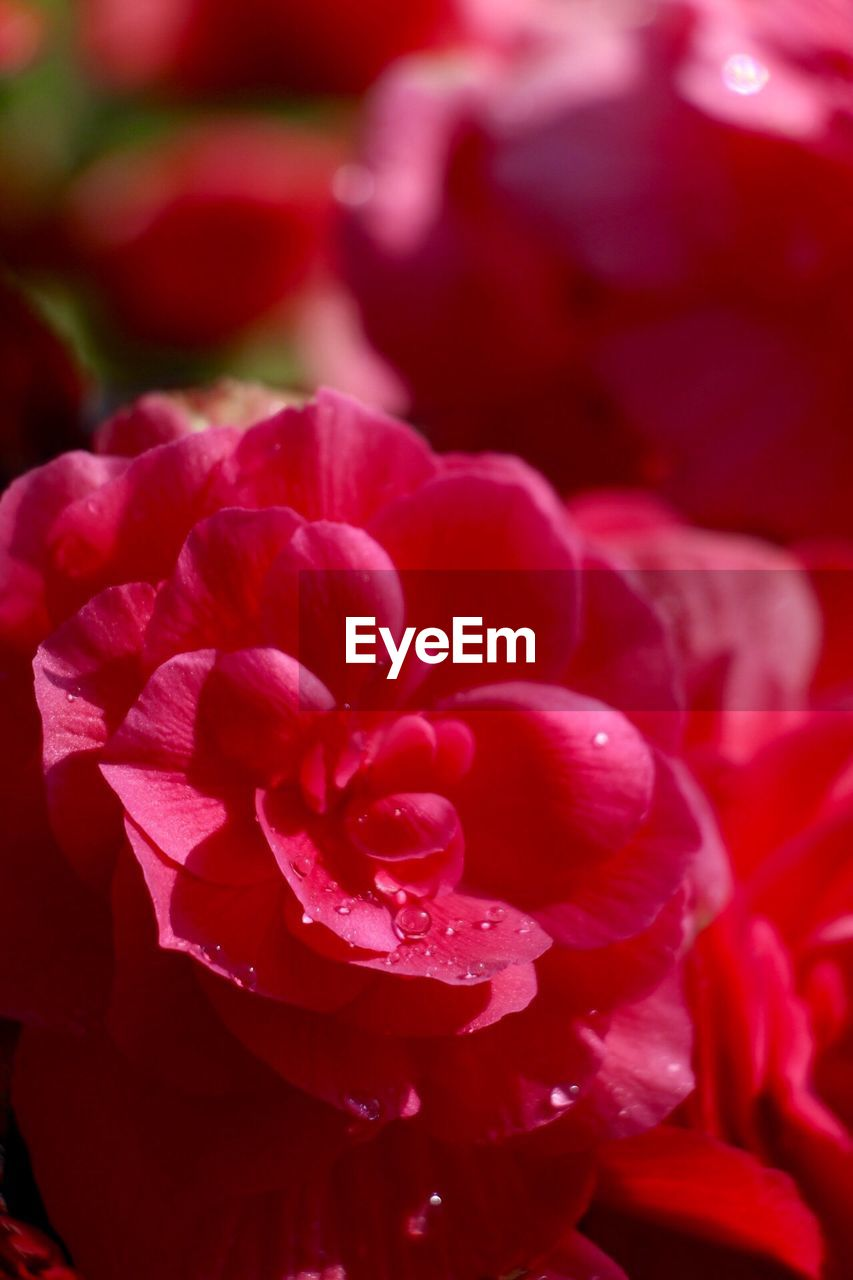 flower, petal, beauty in nature, nature, rose - flower, no people, red, flower head, growth, fragility, plant, blooming, freshness, close-up, outdoors, day