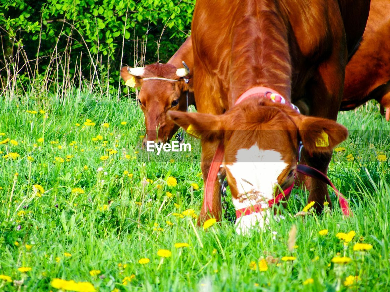 grass, mammal, animal themes, domestic, domestic animals, animal, pets, field, plant, vertebrate, livestock, land, cattle, nature, group of animals, cow, no people, green color, day, domestic cattle, outdoors, herbivorous