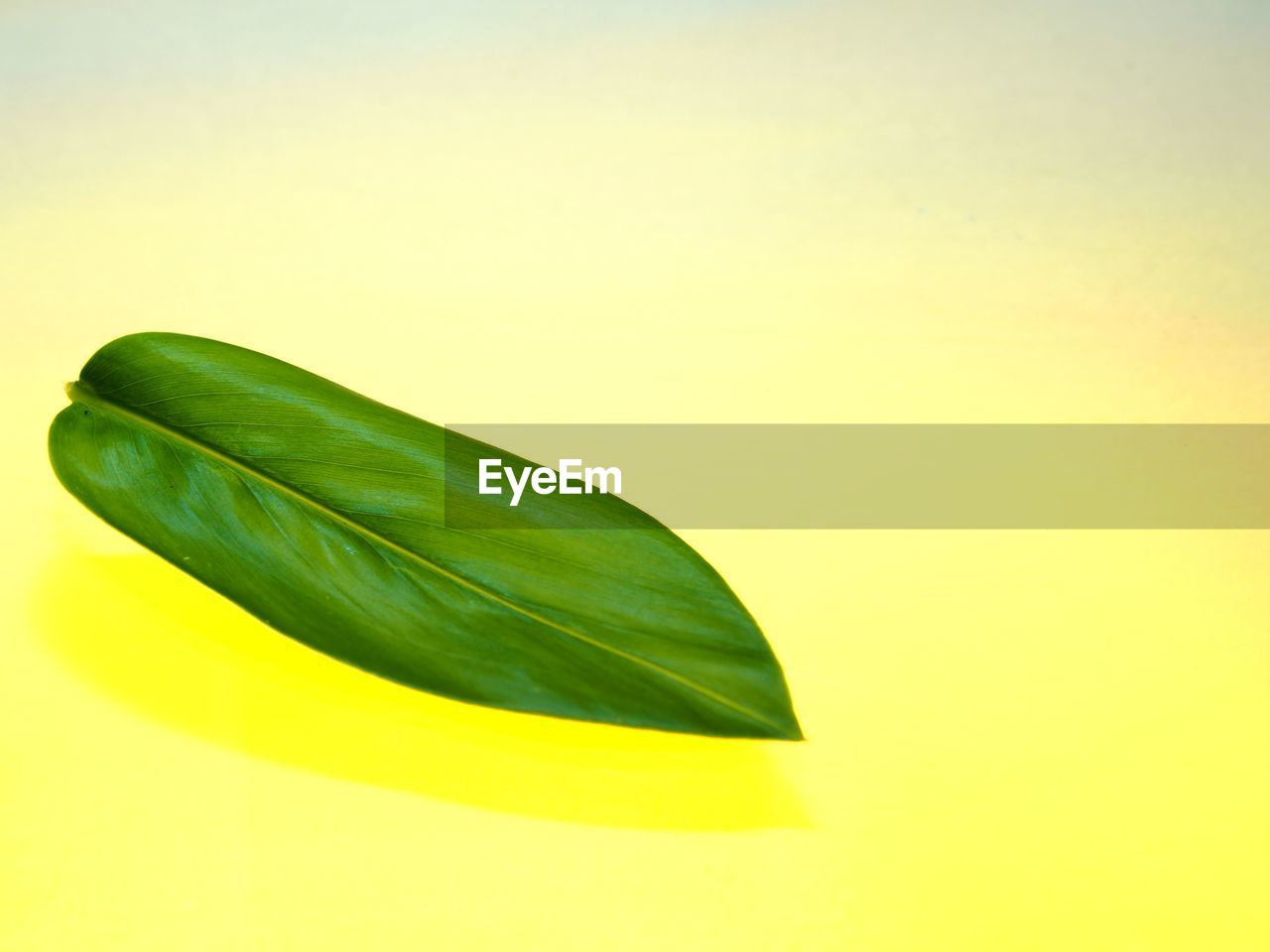 green color, copy space, yellow, studio shot, close-up, plant part, leaf, freshness, no people, colored background, nature, still life, indoors, yellow background, vulnerability, fragility, cut out, beauty in nature, single object, plant, leaves