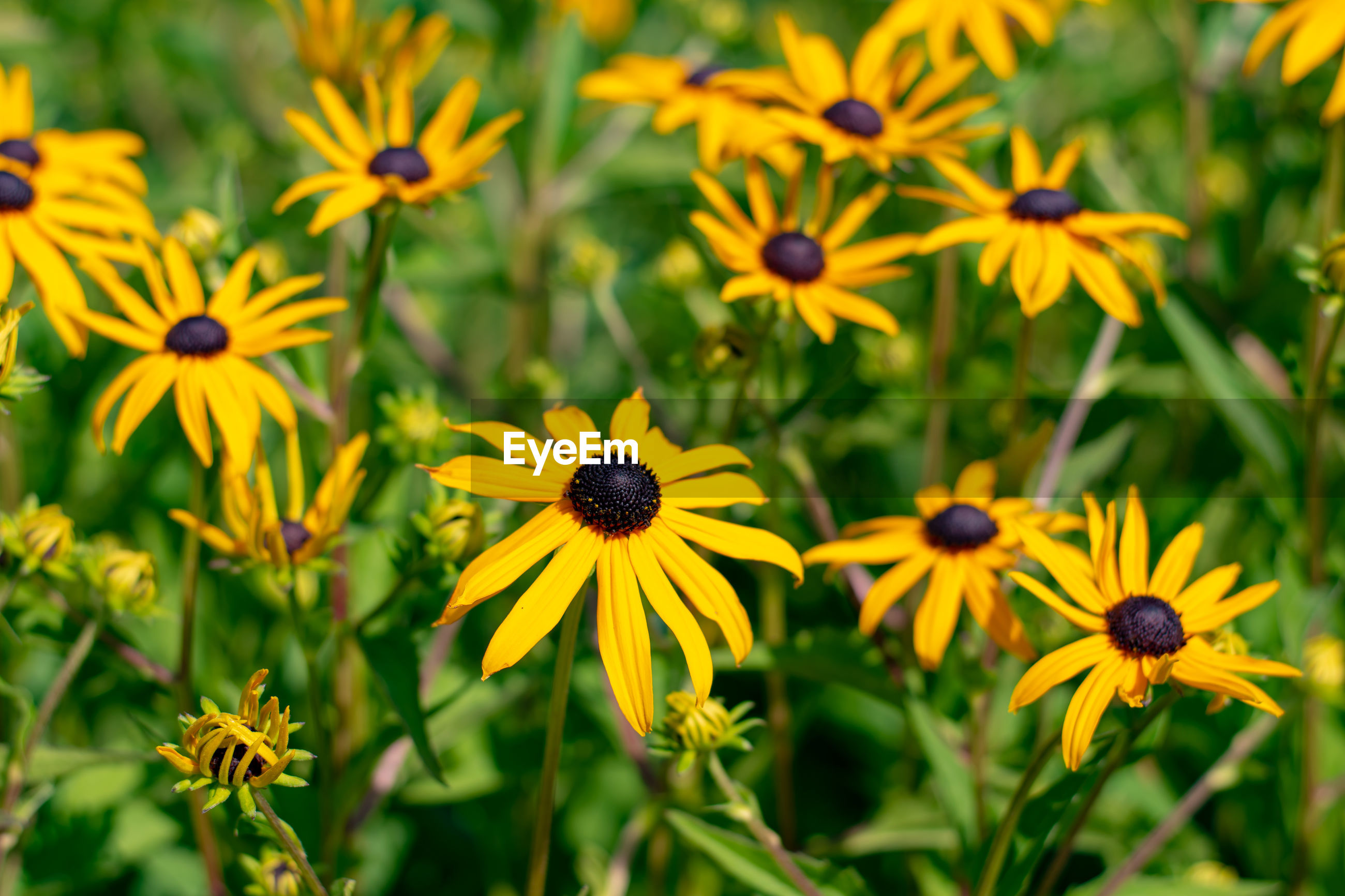 CLOSE-UP OF YELLOW BLACK-EYED AND PLANTS