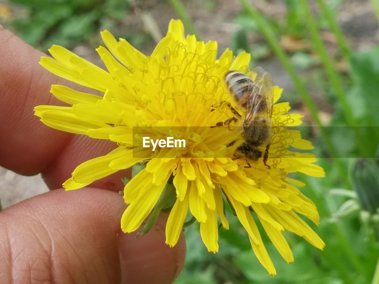 flowering plant, flower, petal, fragility, insect, vulnerability, yellow, beauty in nature, hand, animal themes, freshness, animal wildlife, invertebrate, human body part, flower head, animals in the wild, human hand, plant, bee, animal, body part, finger, pollination, pollen, outdoors