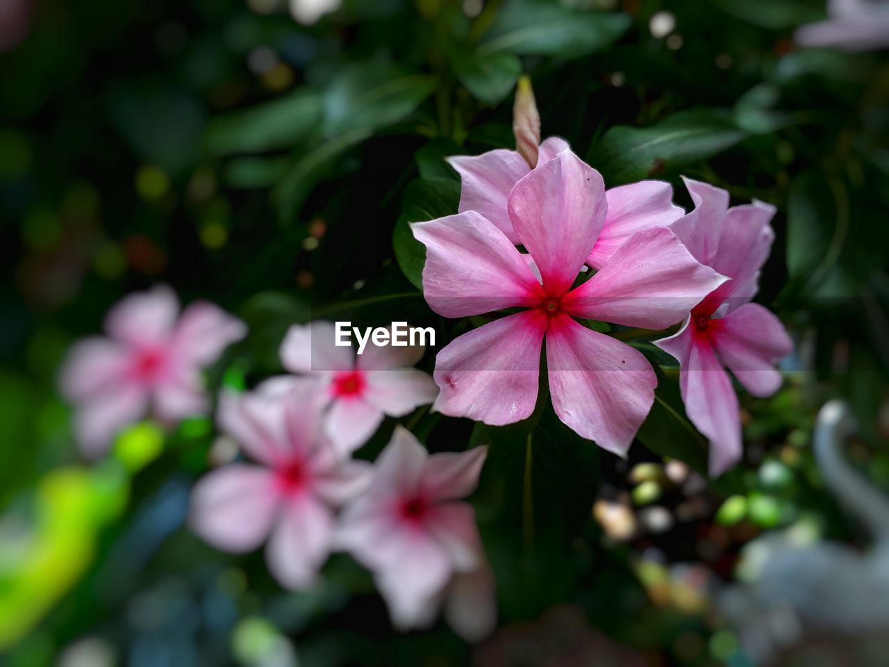 petal, flowering plant, flower, plant, beauty in nature, freshness, pink color, fragility, growth, flower head, vulnerability, inflorescence, close-up, nature, day, no people, focus on foreground, outdoors, plant part, botany
