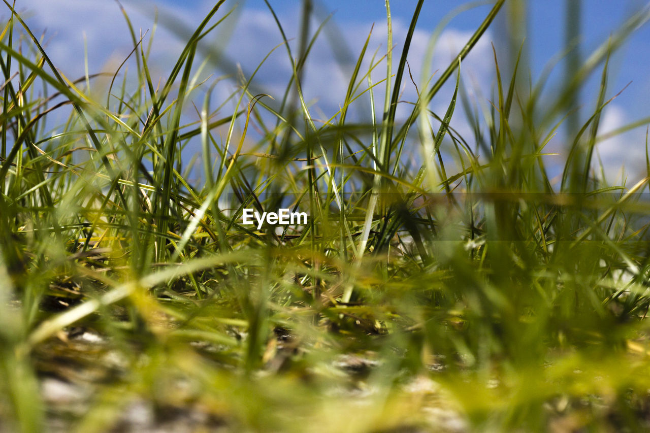 plant, selective focus, growth, grass, nature, field, green color, land, day, no people, beauty in nature, close-up, tranquility, outdoors, sky, sunlight, surface level, blade of grass, blue, agriculture