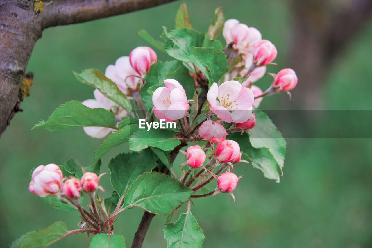 plant, flowering plant, leaf, flower, growth, plant part, beauty in nature, freshness, pink color, vulnerability, fragility, close-up, petal, nature, focus on foreground, day, flower head, inflorescence, no people, green color, outdoors, springtime