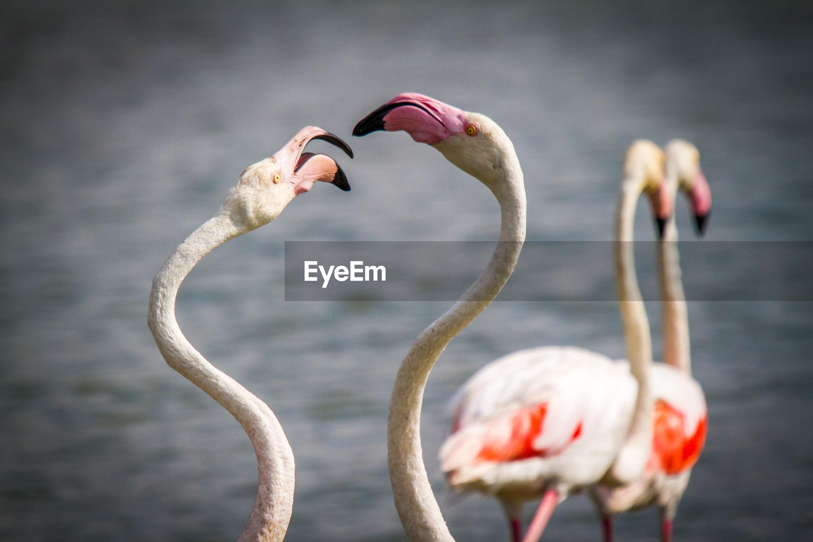 Close-Up Of Flamingos At Lake