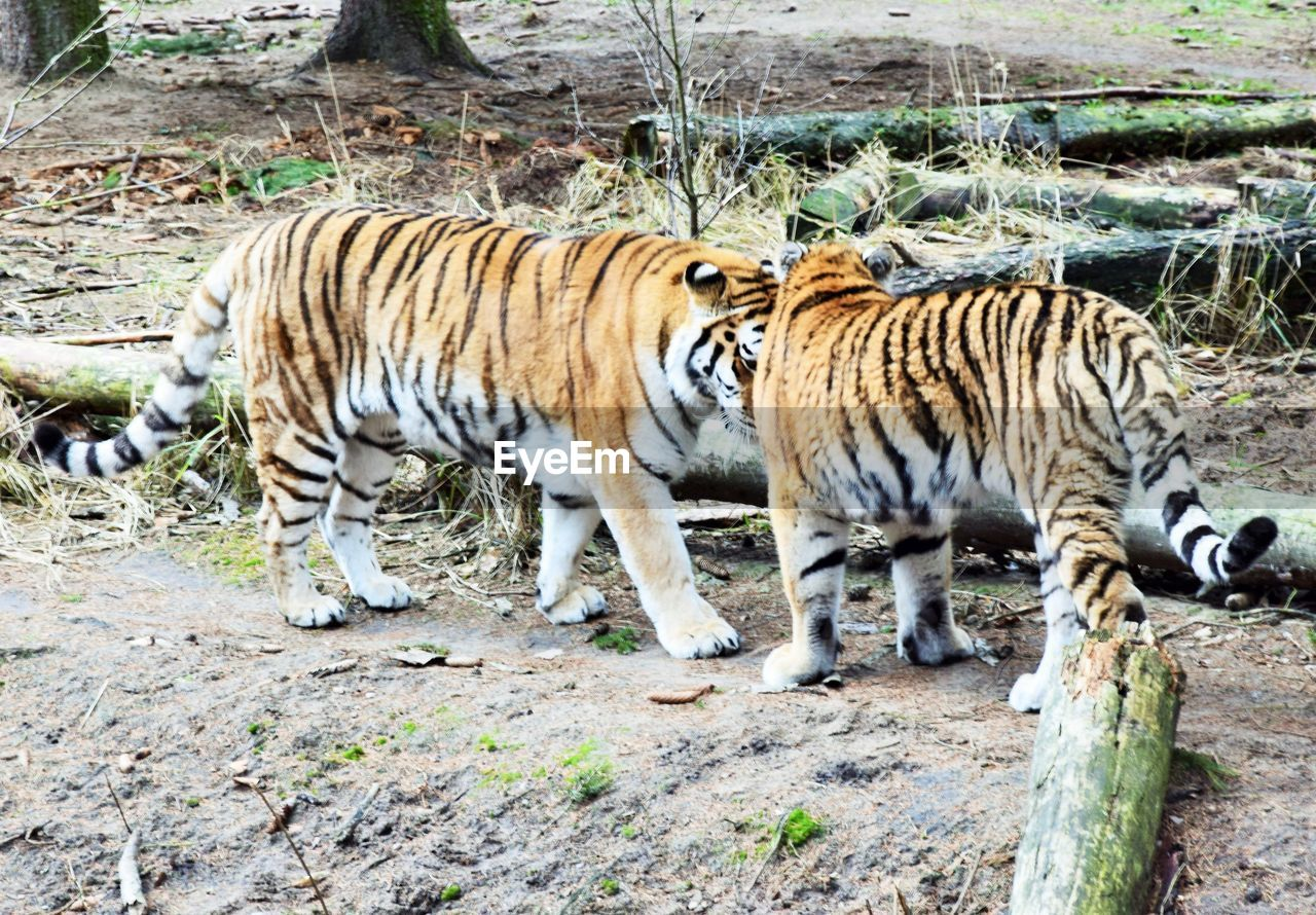 animal, animal themes, tiger, big cat, animals in the wild, mammal, animal wildlife, feline, cat, one animal, carnivora, day, no people, vertebrate, endangered species, zoo, land, nature, full length, outdoors