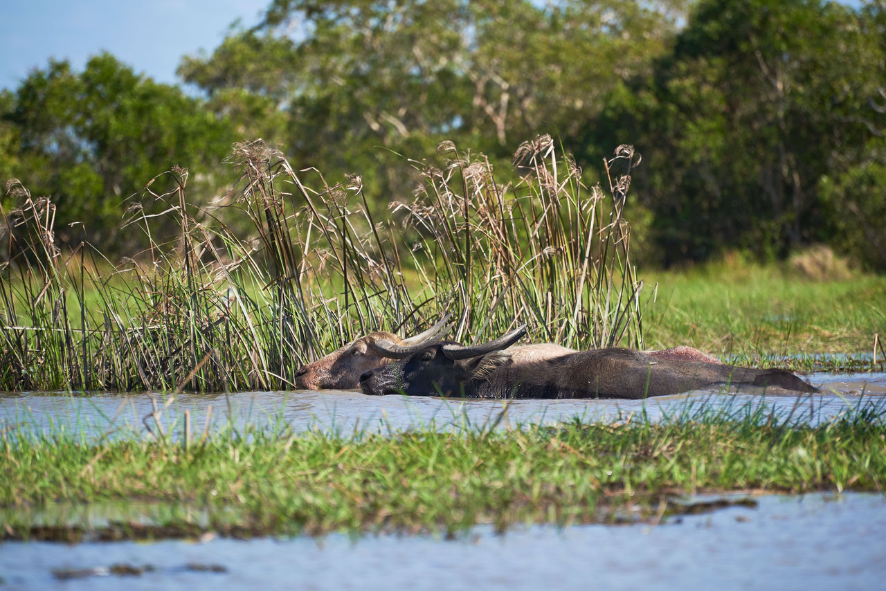 animal, mammal, animal themes, animal wildlife, vertebrate, plant, animals in the wild, water, relaxation, no people, nature, tree, grass, domestic animals, feline, group of animals, day, lake, resting